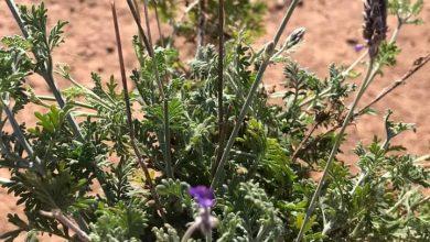 Photo of نبات الخُزامى Lavander